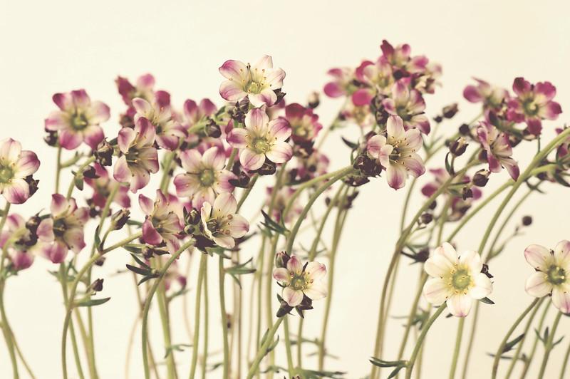 Saxifraga-vintage bliss.jpg