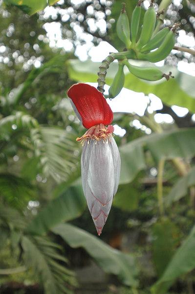 Banana flower and fruit