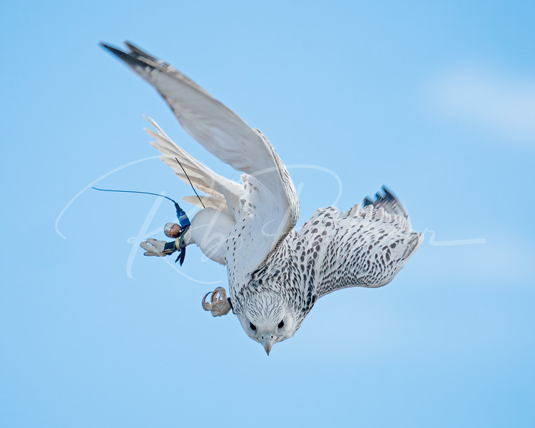 Gyrfalcon pursuit