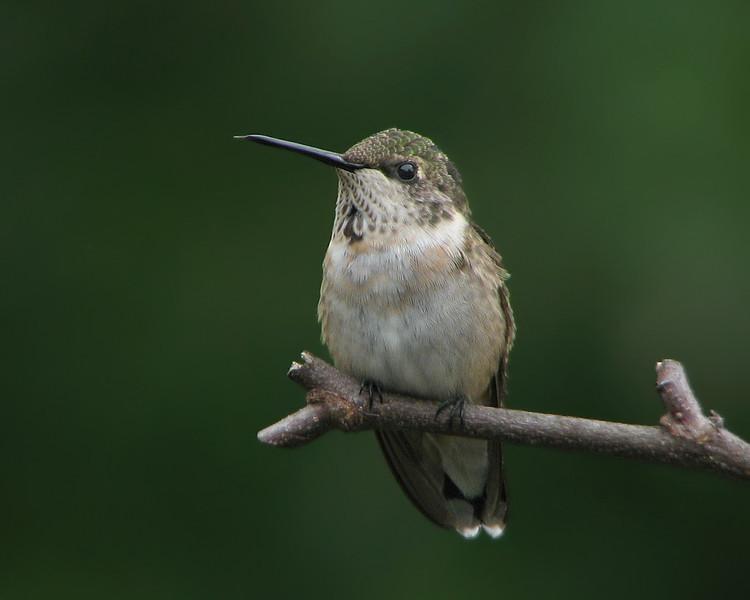 hummingbird_0737.jpg