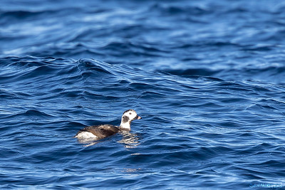 Havelle (Long-tailed Duck)
