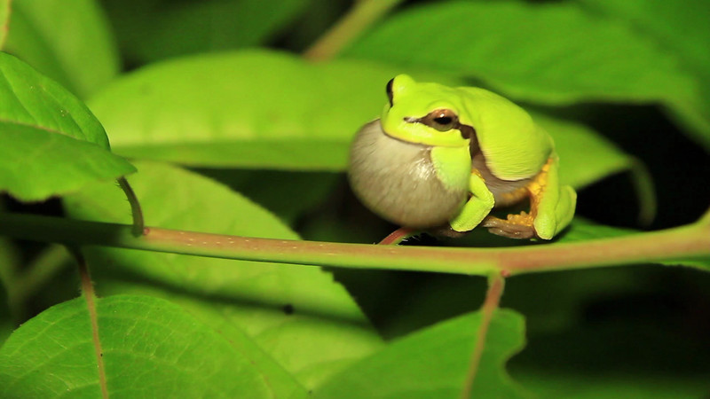 Pine barrens treefrog calling-2.mp4