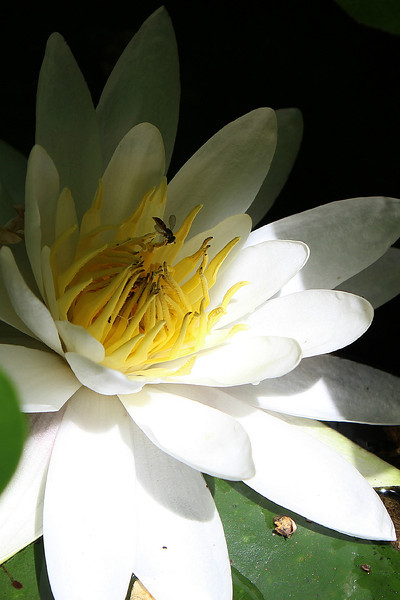 """""""The Water Lily and the Fly"""" - Daily Photo - 08/21/13"""