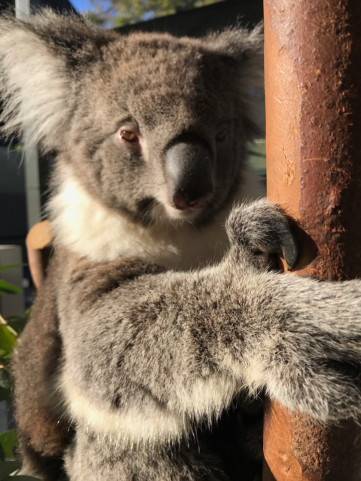 Koalas at Caversham Wildlife Park