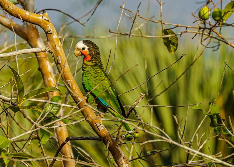 Amazona leucocephala_Ciénega Zapata_270220_DSG1279.jpg