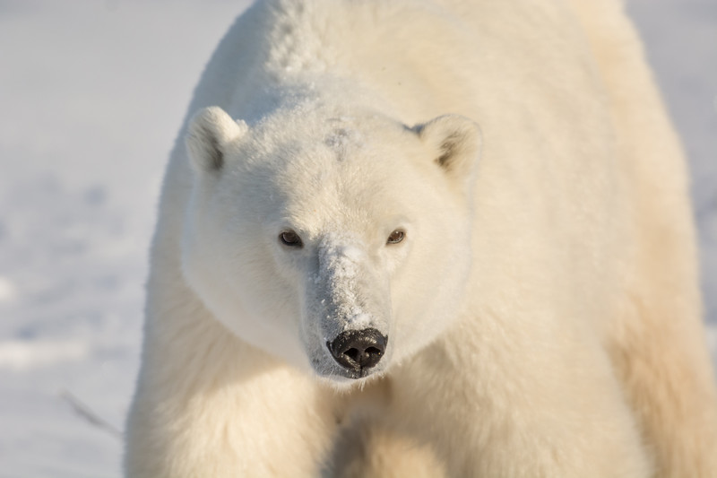 Large female polar bear