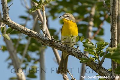 Yellow-breasted Chat, Big Morango Canyon CA, USA