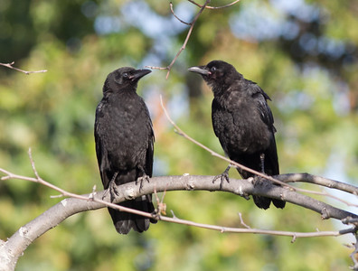 American Crow Corvus brachyrhynchos