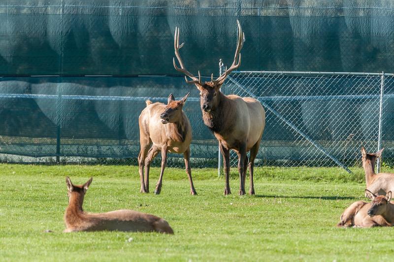 elk-at-ball-park-1-10.jpg
