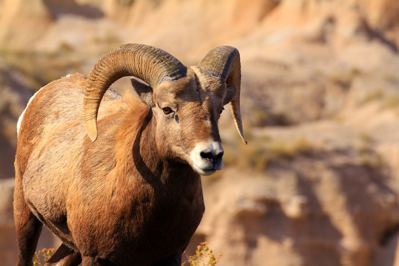 Badland Bighorn Sheep 3.jpg
