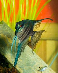 Angelfish by Bill