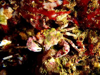 Pugettia gracilis (graceful kelp crab)