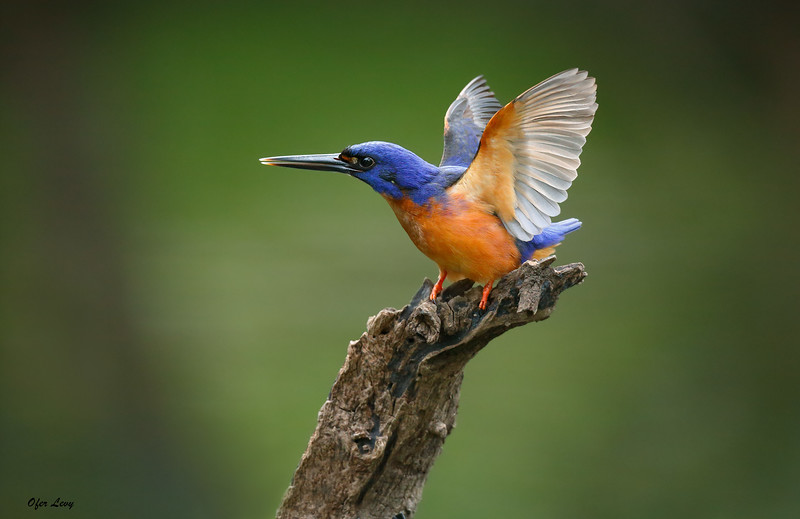 Azure Kingfisher 2.jpg