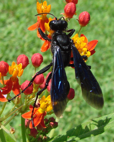 Sphex pensylvanicus (Great Black Wasp).  TX: Tarrant Co. (Duhons' Fort Worth yard), 29 August 2009.