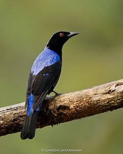 Asian Fairy-bluebird (Irena puella)