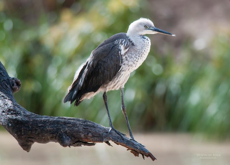 White-necked Heron, Lake Bindegolly, QLD, Jul 2010.jpg