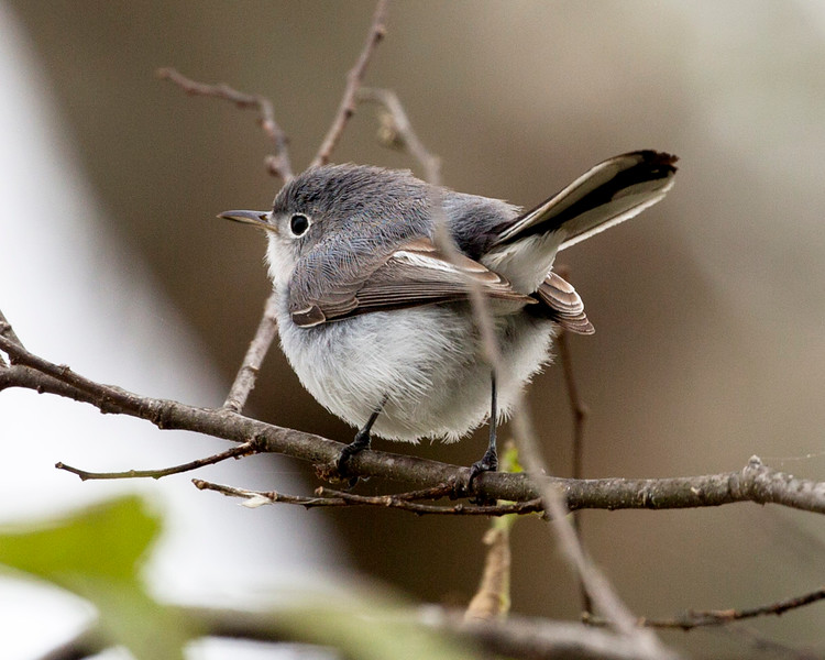 Another look at the Bluegray Gnatcatcher