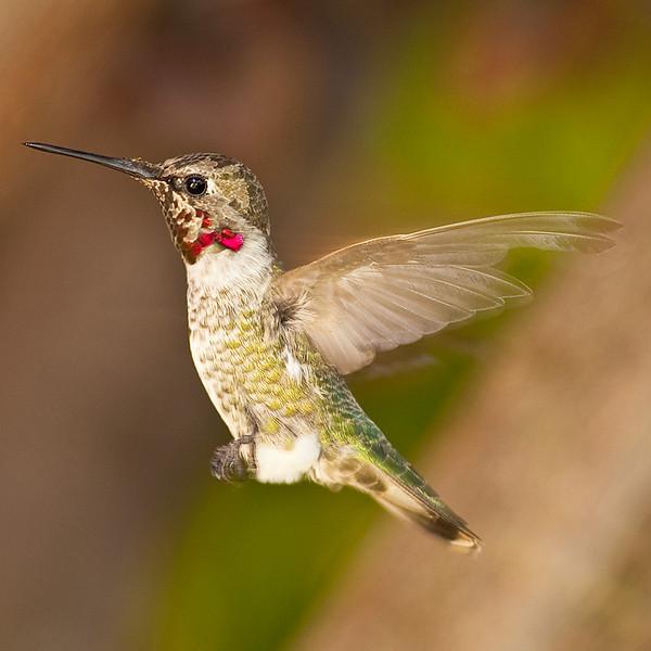 Hummingbird_20090725_008.jpg