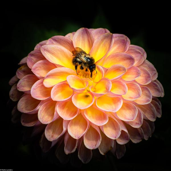 Bee on Pompom Dahlia