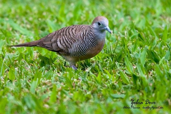 Doves, Pigeons