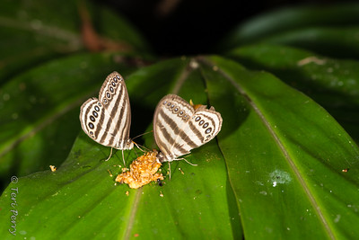 INSECT - butterfly eating fruit-2161