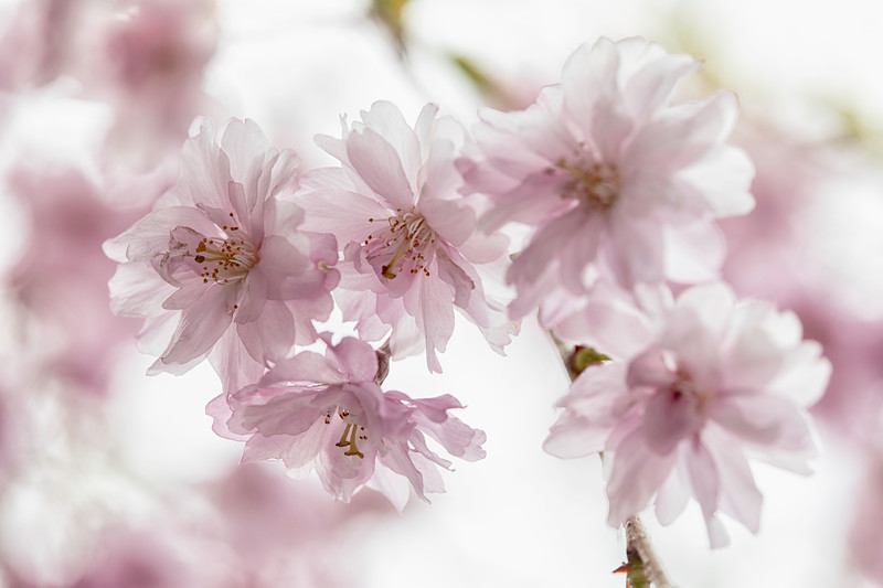Weeping Cherry Blossoms_0576