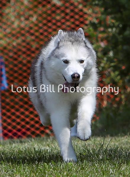 Siberian Husky SR
