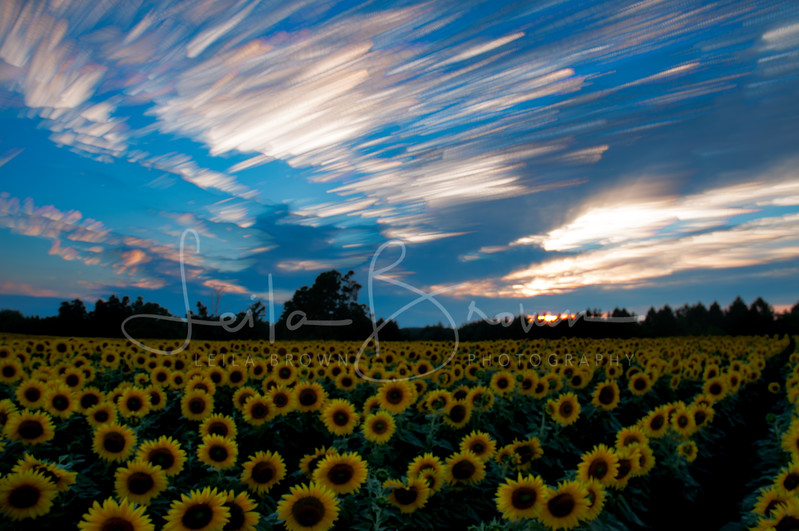 Sunflower sunset 2