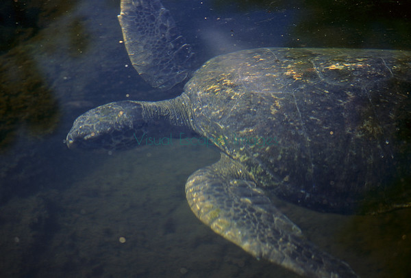 Sea turtles/ Chelonia mydas