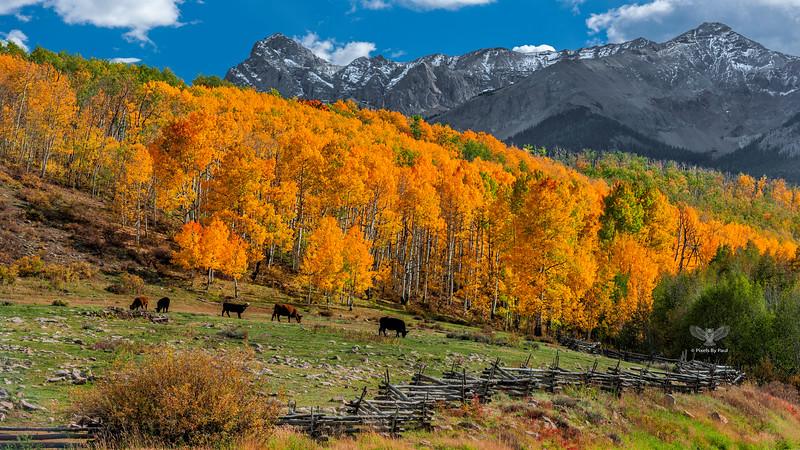 000645 Last Dollar Cows 16x8.jpg