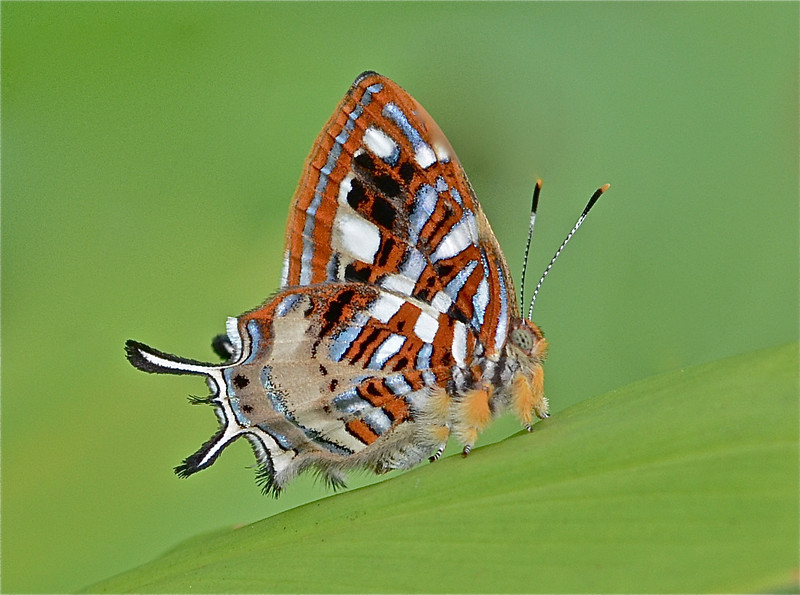 Metalmark Butterfly one of over 2,000 species found in the Amazon area