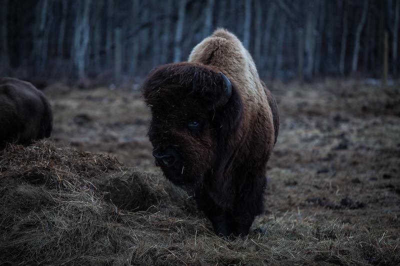 AHP171212_buffalo1423.jpg
