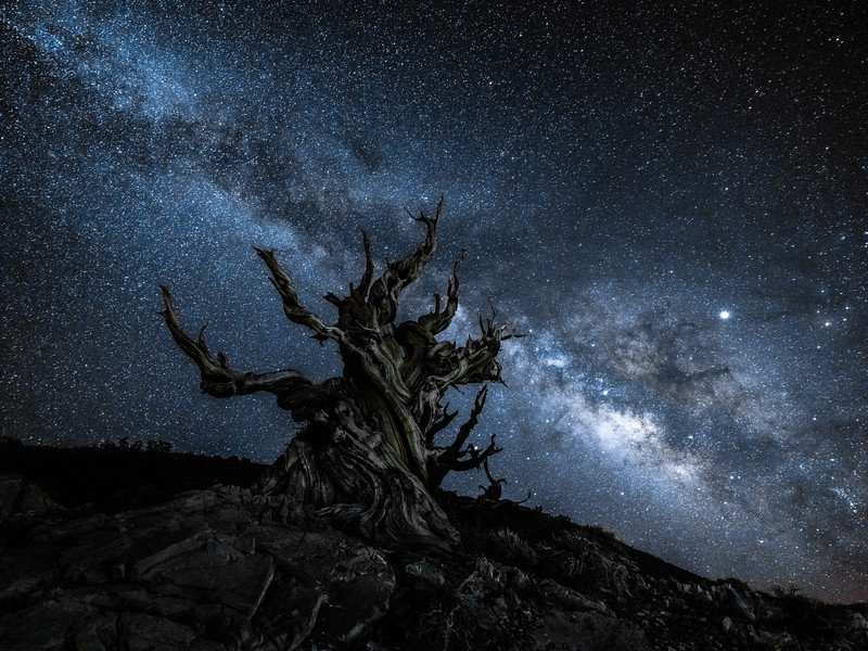 Eternal Eternity: Ancient Bristlecone Pine Milky Way