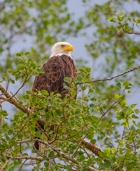 Pretty Eagle Crex Meadows