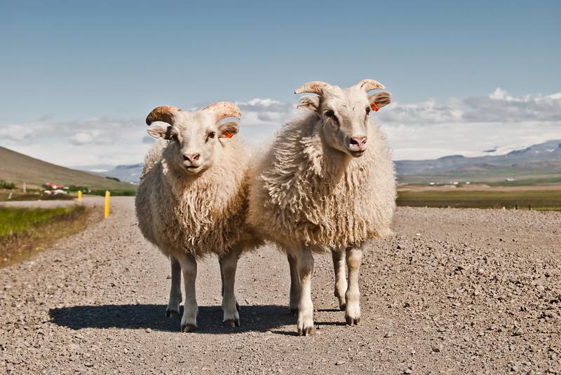 Friendly Icelandic Lamb