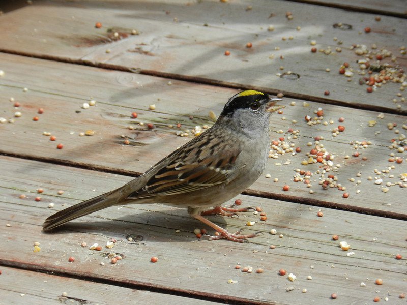 Sparrow, Golden-crowned -photo 2