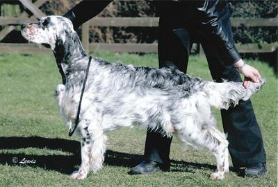 Upperwood-Lucy-Liu-English-Setter-Puppy.jpeg