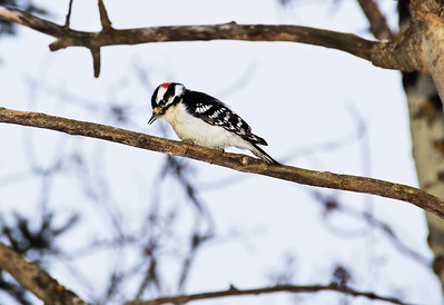 Male Downy Woodpecker  Taken December 14, 2010 Elk Island Retreat Near Fort Saskatchewan, Alberta