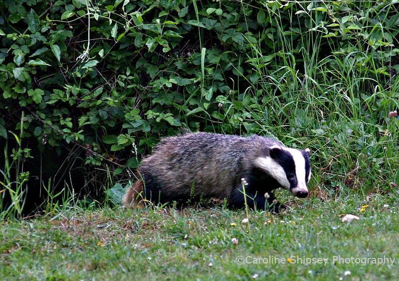 Badger cub emerging from sett
