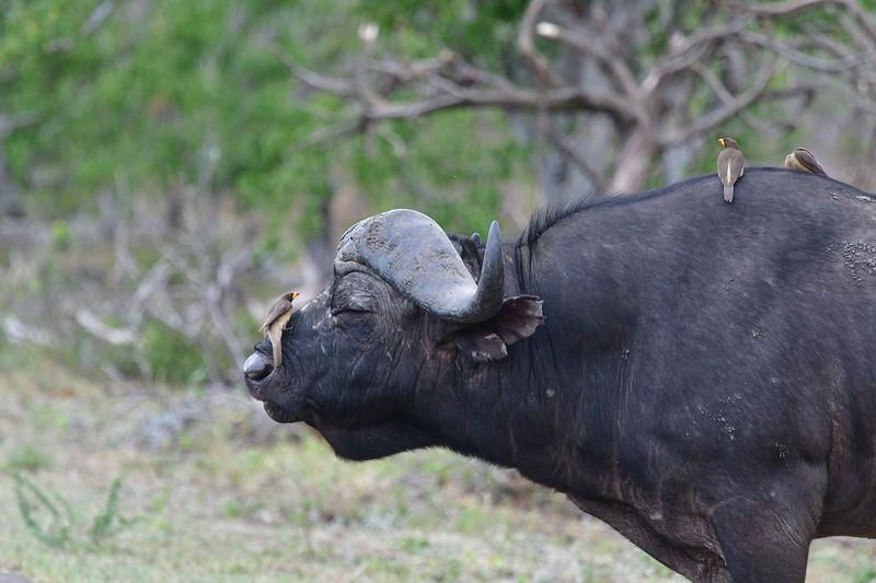 Closeup Side-angle Buffalo