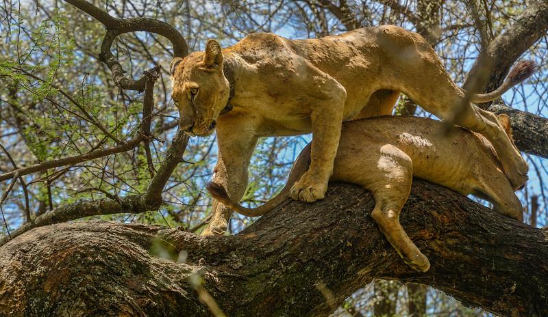 Tree-climbing-lions-Lake-Manyara-Africa-1.jpg
