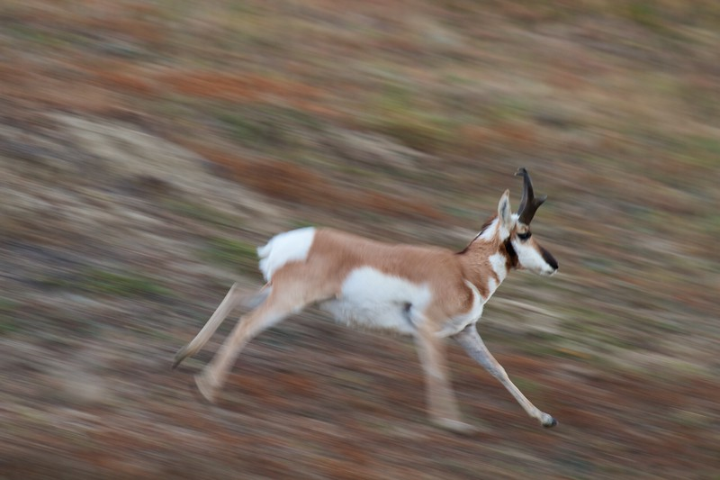 Pronghorn speed blur Theodore Roosevelt NP South Unit ND IMG_0029745.jpg