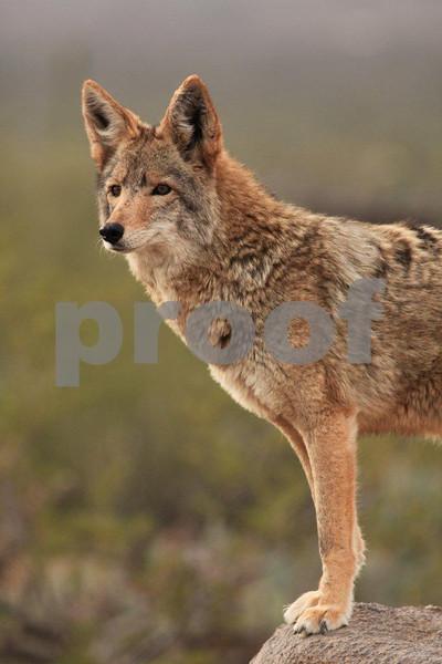 Coyote 6796.jpg