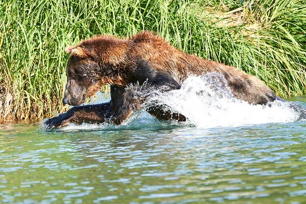 Brown Bears Fishing Katmai August 2020