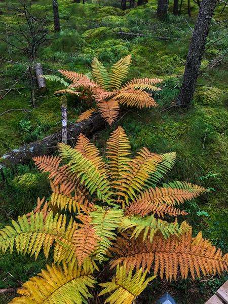 ferns Warren Woessner Bog Boardwalk Warren Nelson Memorial Bog Sax-Zim Bog MN  IMG_9066.jpg
