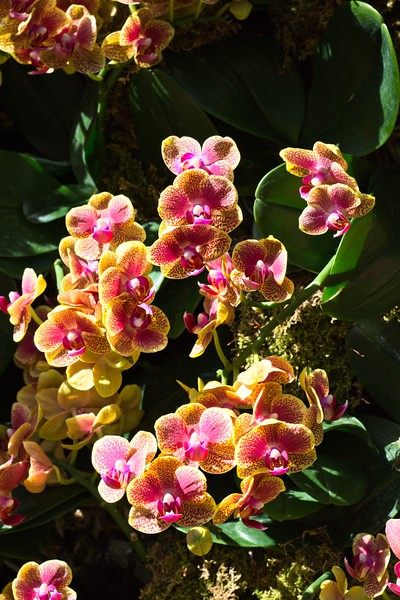 Orchids from Longwood Gardens orchid display