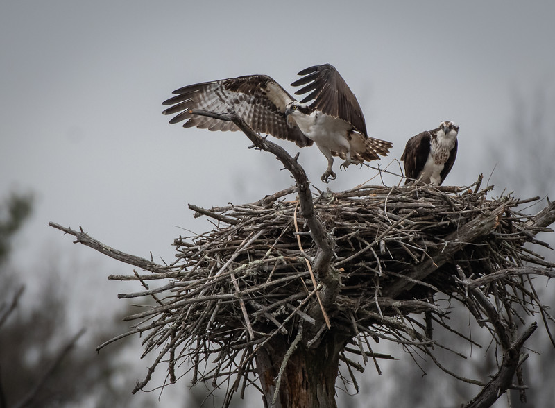 Osprey pair male leaving