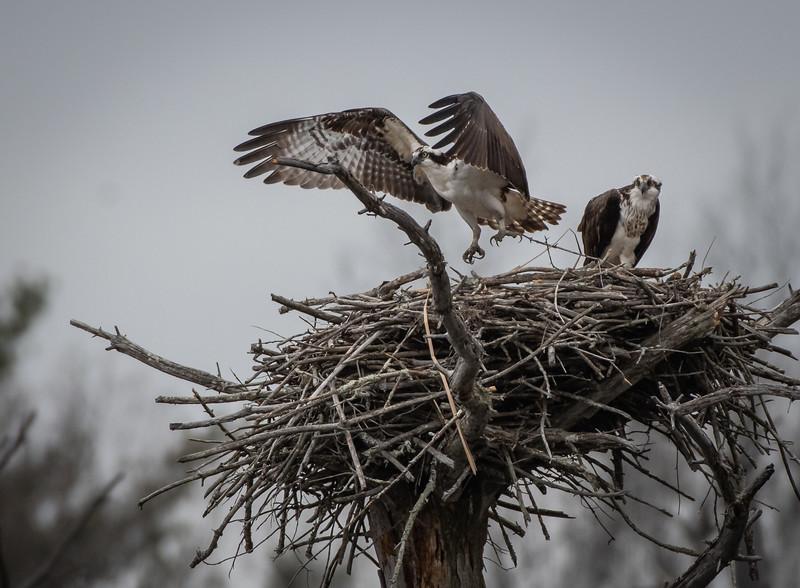 Osprey pair male leaving