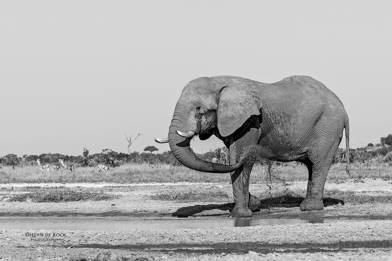 African Elephant, b&w, Savuti, Chobe NP, Botswana, May 2017-2.jpg