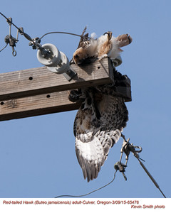 Red-Tailed Hawk A65476.jpg
